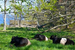 Belties1